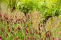 Très jeunes raisins et belle diversité florale vignes coteaux Pont-Barré