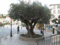 Très vieil olivier devant l'église et la mairie