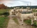 Troupeau de vaches au milieu du chemin...