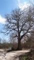 Un beau specimen de chêne