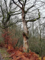 Un chêne en fin de vie