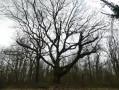 Un chêne en hiver (en approche de Sollognes en Montois)