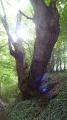 Un chêne pluri-séculaire