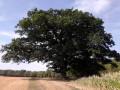 Un chêne plusieurs fois centenaire