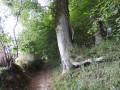Un hêtre de haut jet dans le vallon de la Boulière