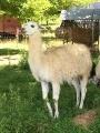 un lama
