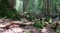 4 - Un mini-chaos de pierres meulières, mêlées aux mousses et aux racines d'un Chêne rouvre.
