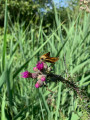 Un papillon sur un chardon