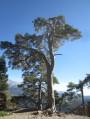 Un pin gigantesque au détour d'un chemin