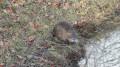 Un ragondin sur le bord du canal de la Sauldre