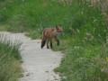 Un renard sur le chemin.