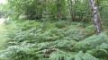 Un sous-bois tapis de fougères