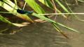 Une Calopteryx Virgo au soleil
