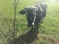 Une vache à frange