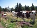 Vache avec sonnaille