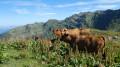 Vaches de race Tarentaise
