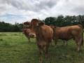 Vaches dans la campagne