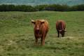 Vaches de race Salers