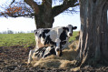 Vaches en bordure de chemin