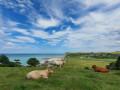 Vaches et Veulette