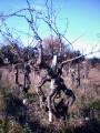 Vieux Cep de Vignes