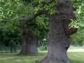 Vieux chênes