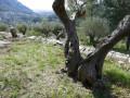 Vieux oliviers sur les restanques