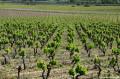 Vignes de Poussan