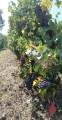 Vignes - Entre Loire et Vignoble à Drain